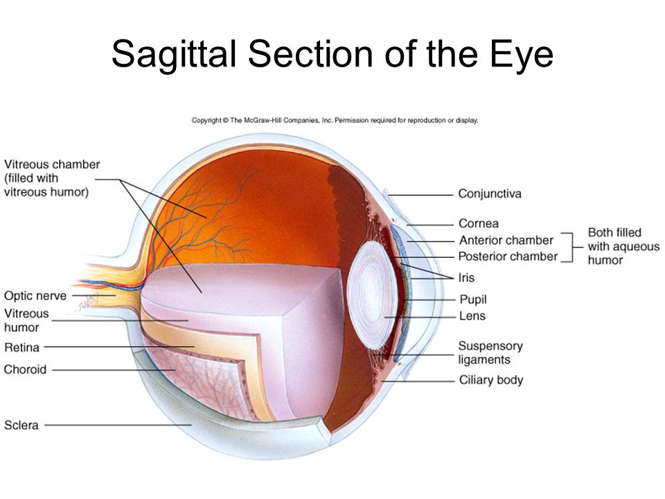 Sagittal Section of the Eye