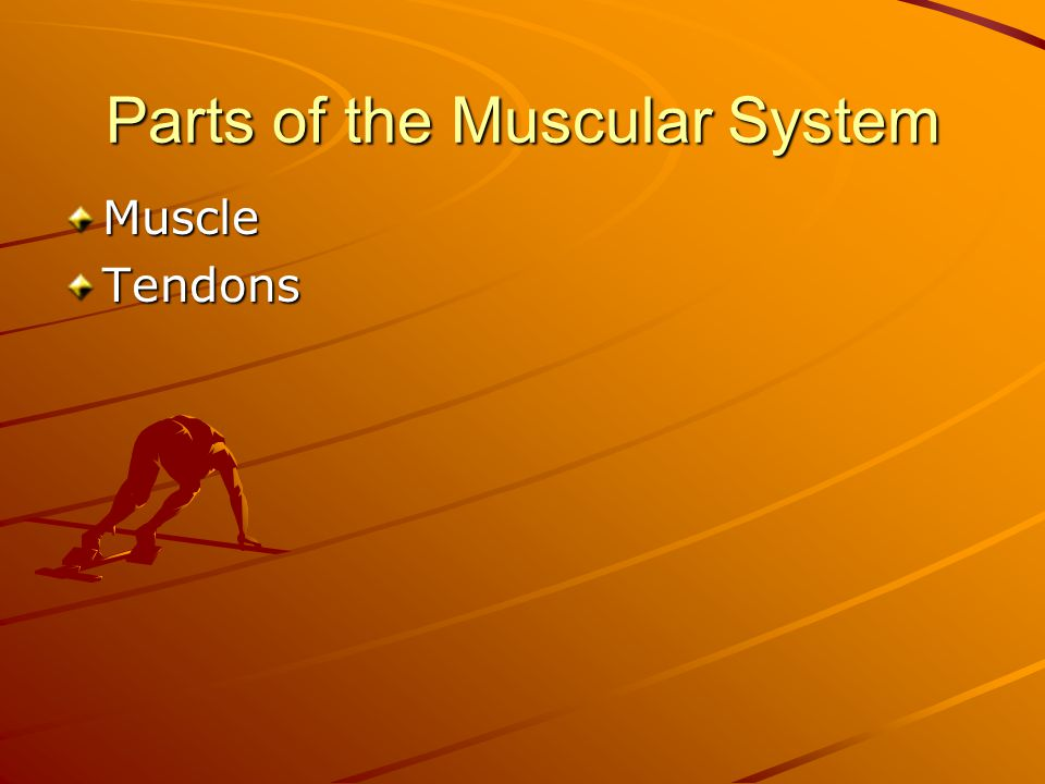 Parts of the Muscular System