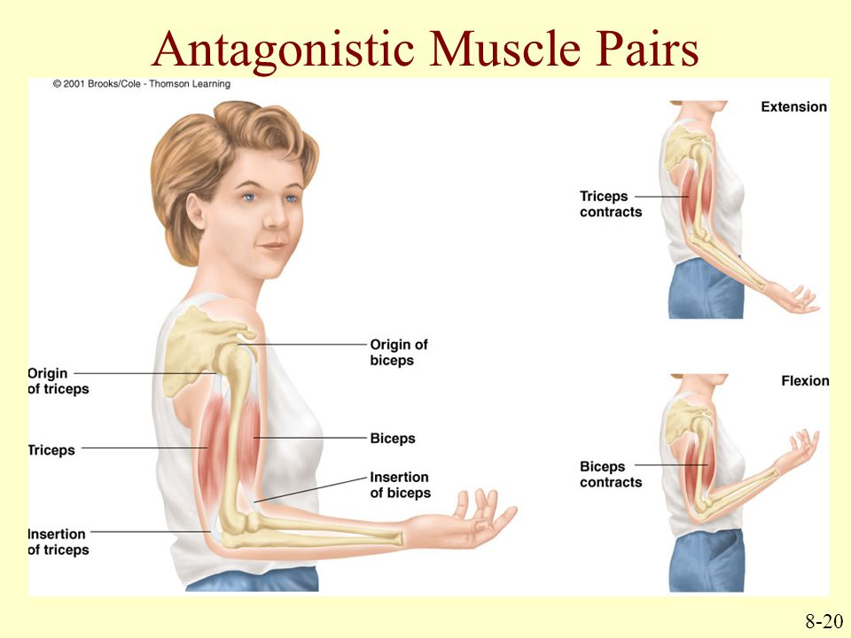 Antagonistic Muscle Pairs