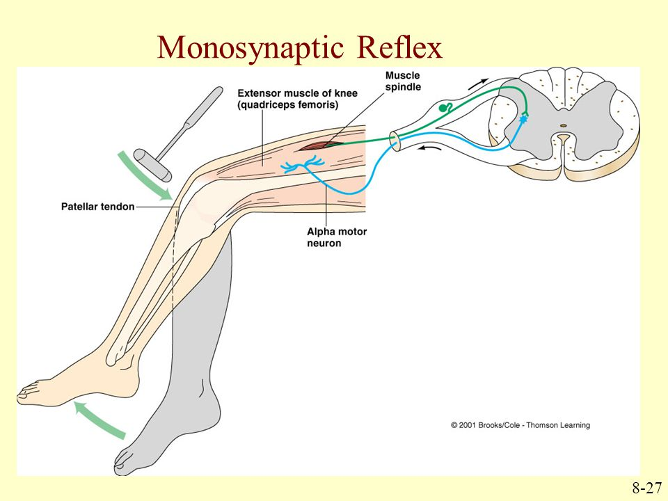 Monosynaptic Reflex 8-27