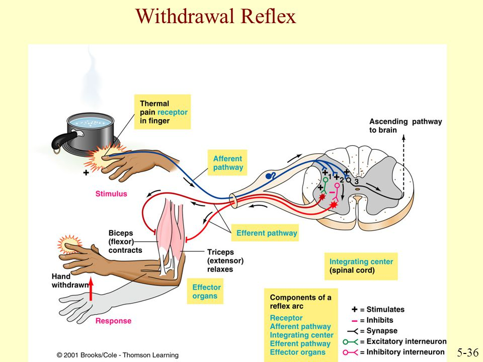 Withdrawal Reflex 5-36