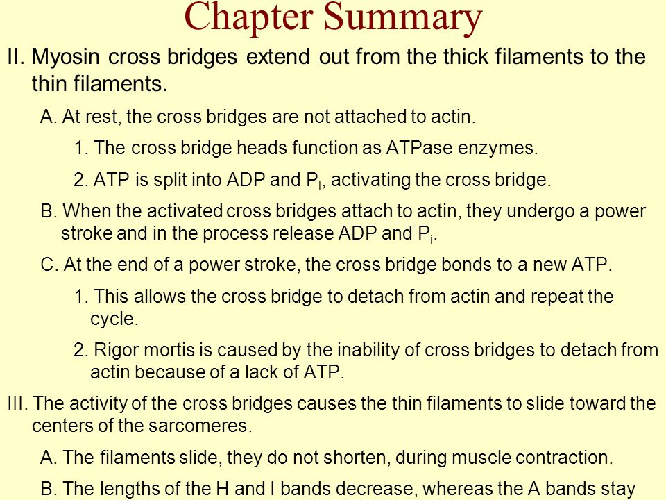 Chapter Summary II. Myosin cross bridges extend out from the thick filaments to the thin filaments.