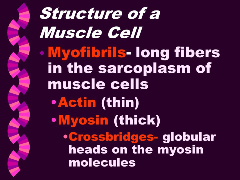 Structure of a Muscle Cell