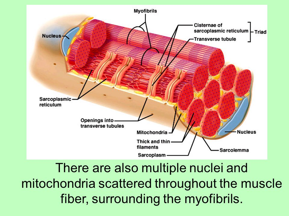 There are also multiple nuclei and mitochondria scattered throughout the muscle fiber, surrounding the myofibrils.