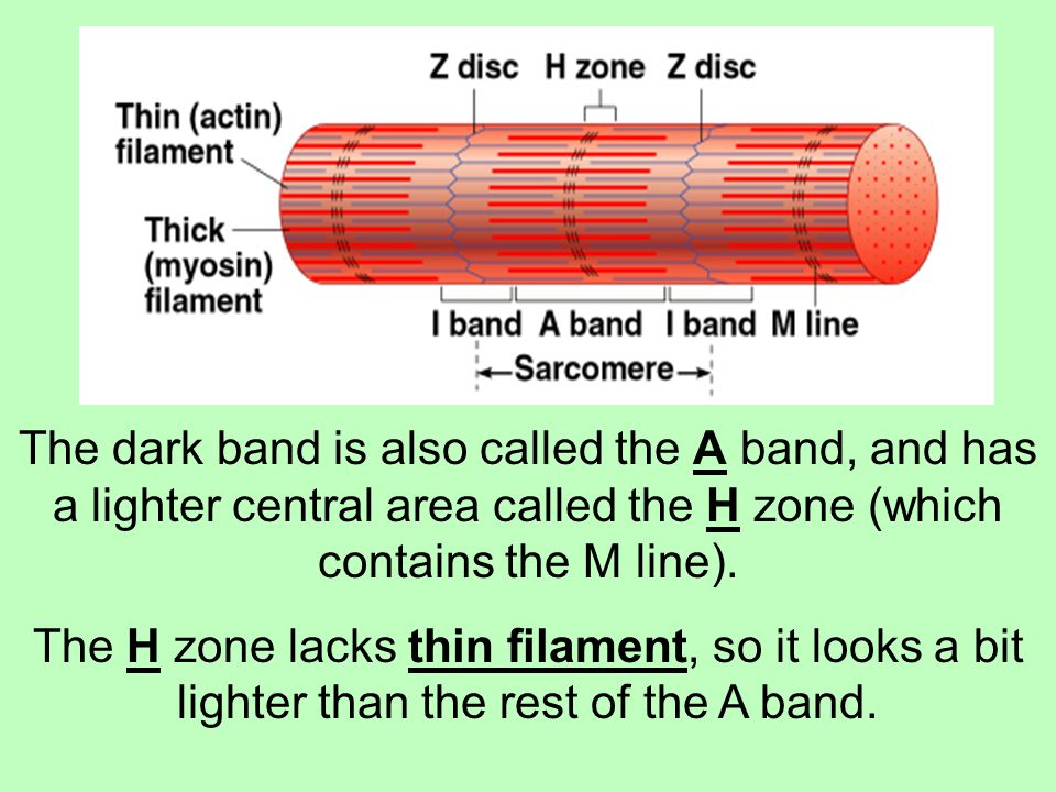 The dark band is also called the A band, and has a lighter central area called the H zone (which contains the M line).