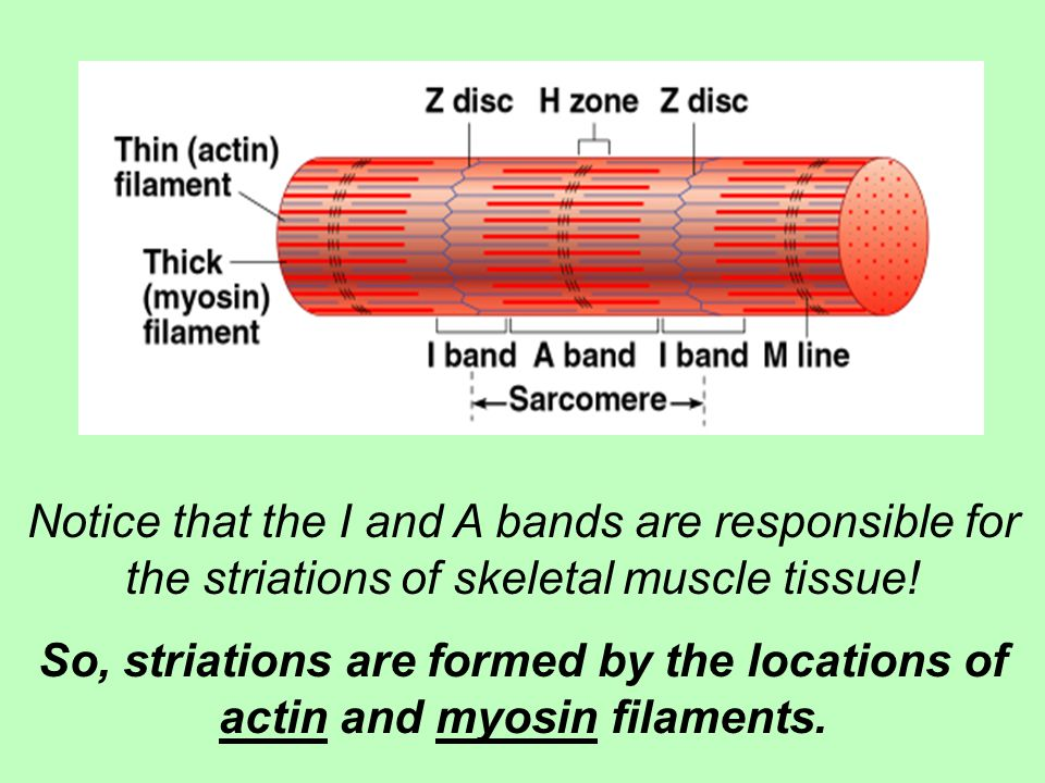 Notice that the I and A bands are responsible for the striations of skeletal muscle tissue!