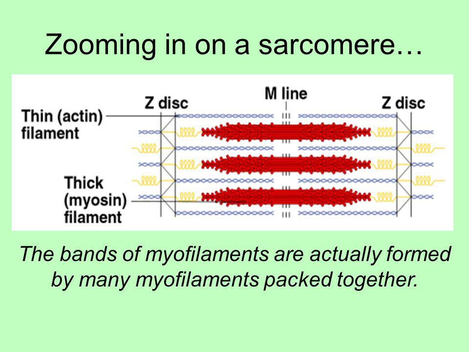 Zooming in on a sarcomere…