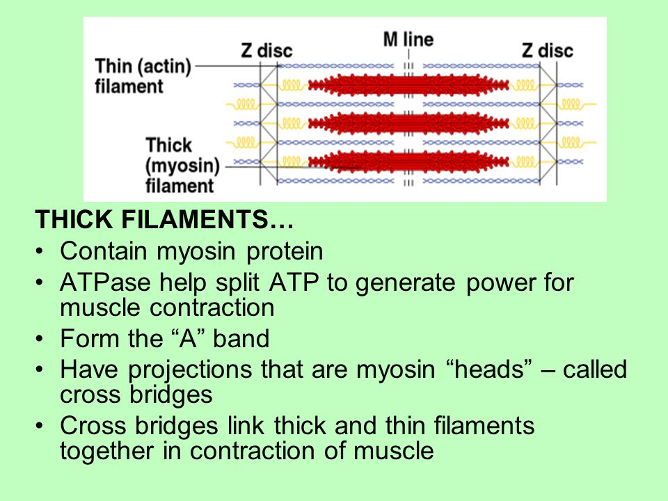 THICK FILAMENTS… Contain myosin protein. ATPase help split ATP to generate power for muscle contraction.