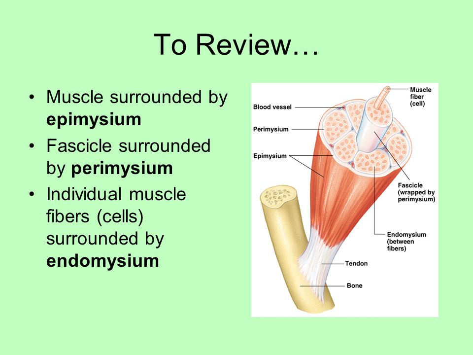 To Review… Muscle surrounded by epimysium