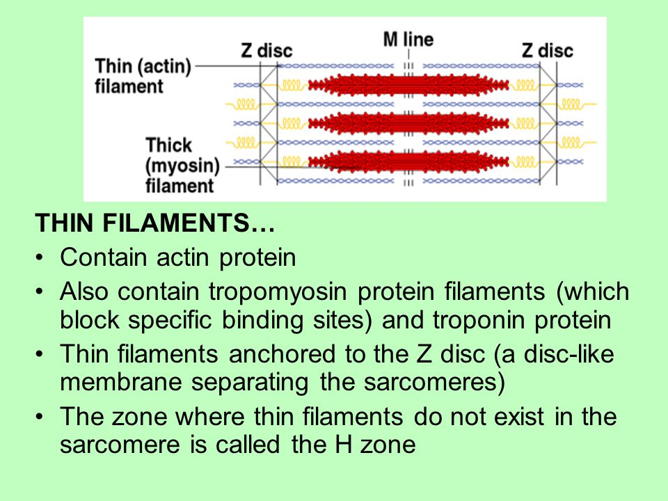 THIN FILAMENTS… Contain actin protein. Also contain tropomyosin protein filaments (which block specific binding sites) and troponin protein.