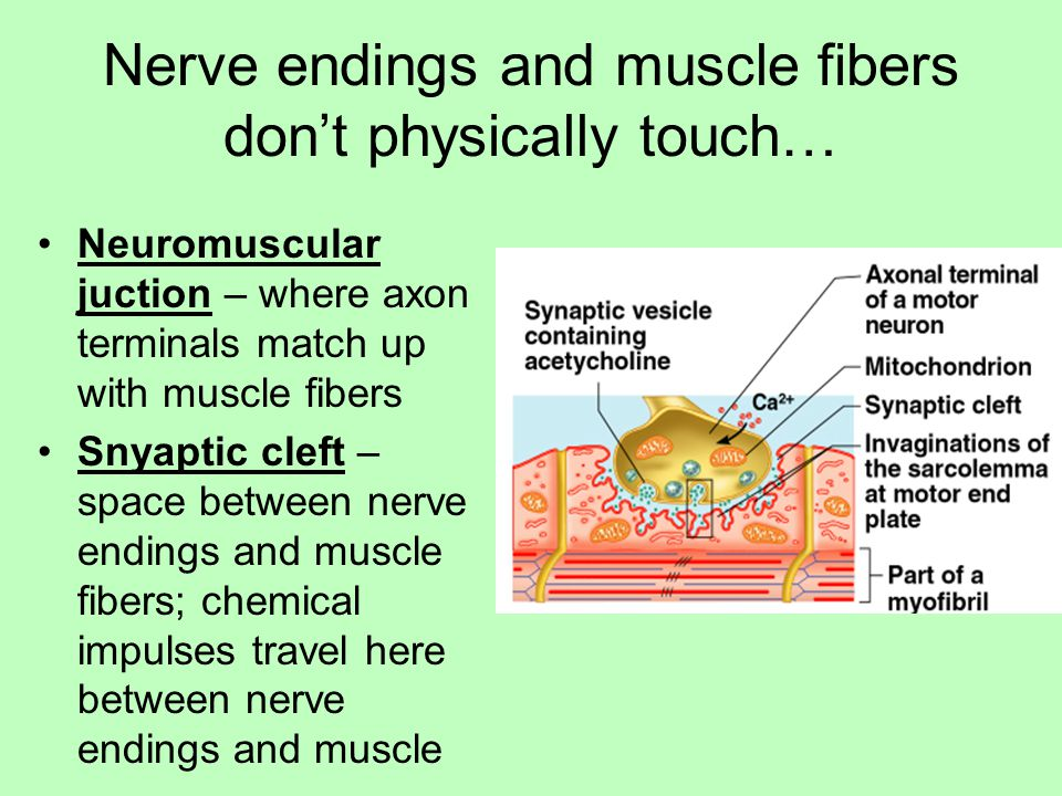 Nerve endings and muscle fibers don't physically touch…