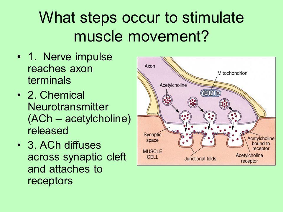 What steps occur to stimulate muscle movement