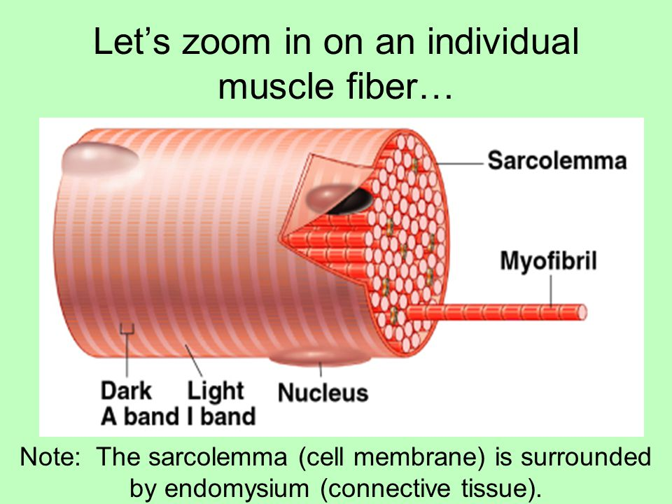 Let's zoom in on an individual muscle fiber…