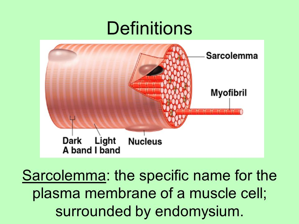 Definitions Sarcolemma: the specific name for the plasma membrane of a muscle cell; surrounded by endomysium.