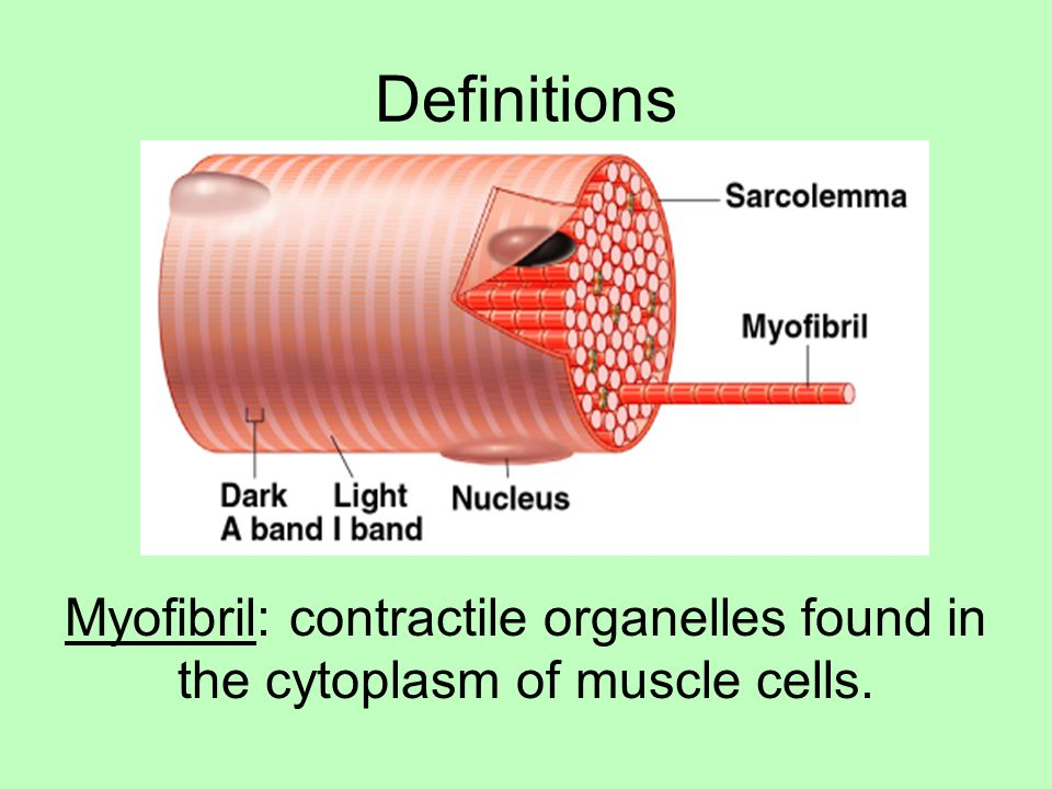 Definitions Myofibril: contractile organelles found in the cytoplasm of muscle cells.