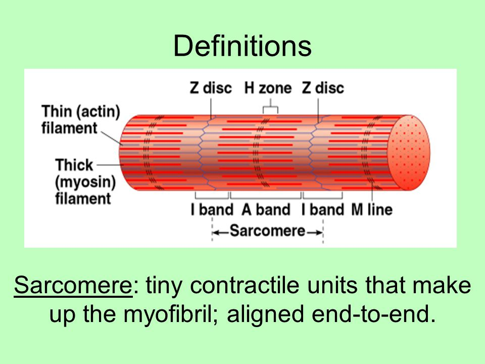 Definitions Sarcomere: tiny contractile units that make up the myofibril; aligned end-to-end.