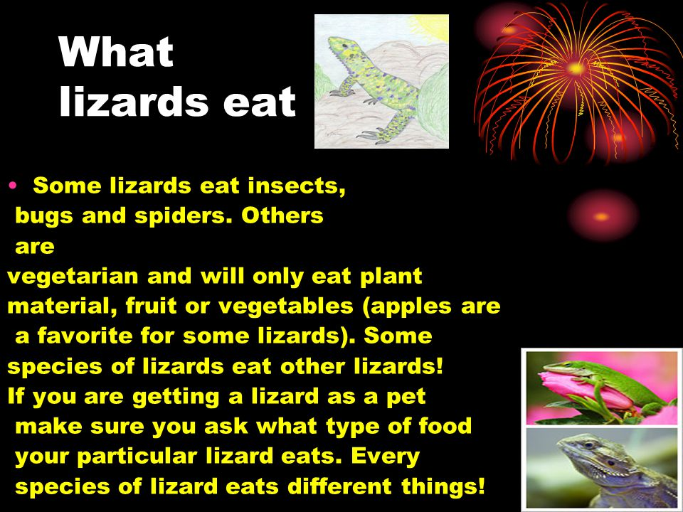 What lizards eat Some lizards eat insects, bugs and spiders. Others