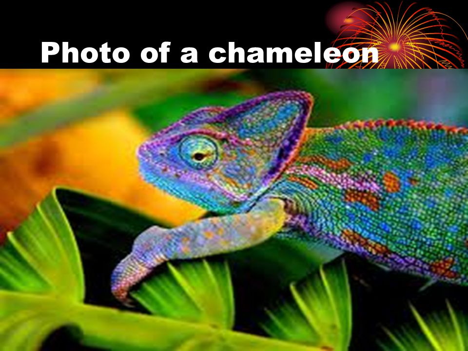 Photo of a chameleon