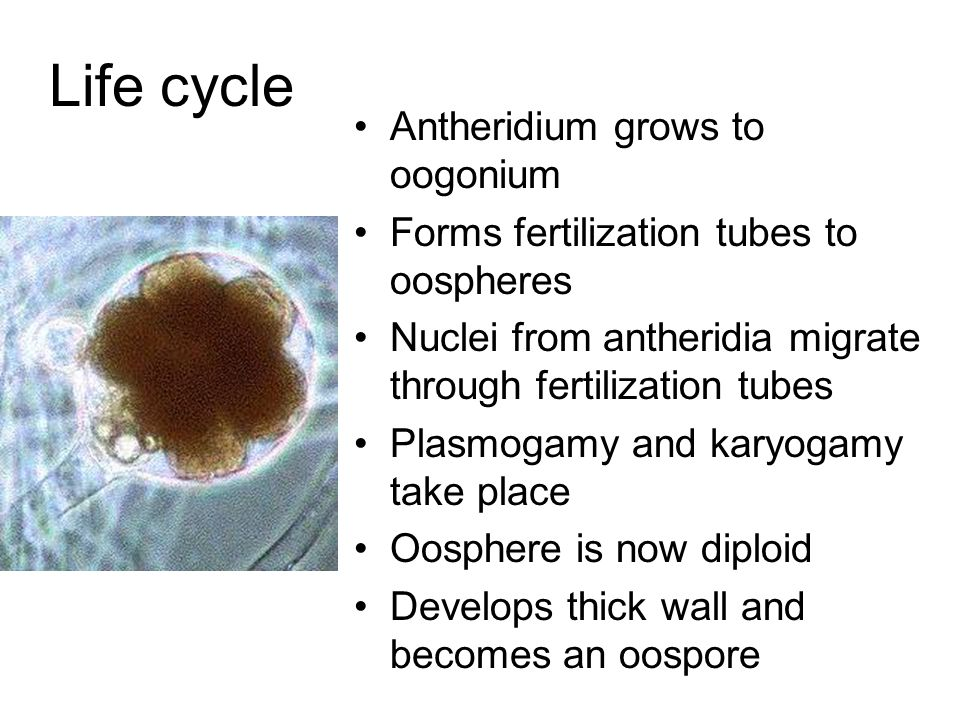 Life cycle Antheridium grows to oogonium