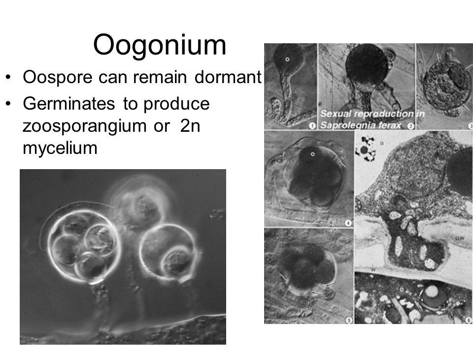 Oogonium Oospore can remain dormant
