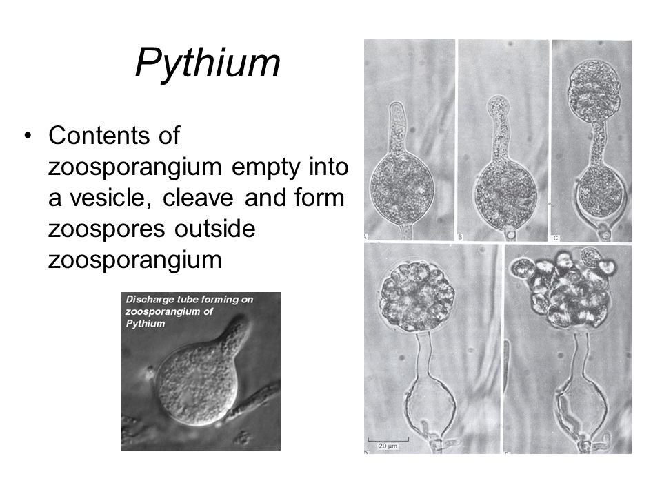 Pythium Contents of zoosporangium empty into a vesicle, cleave and form zoospores outside zoosporangium.