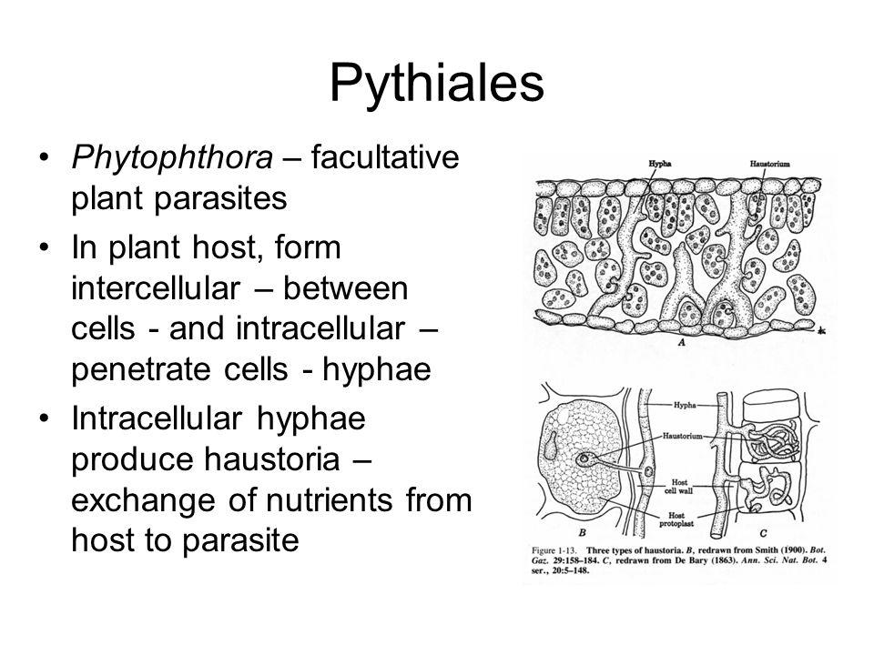 Pythiales Phytophthora – facultative plant parasites