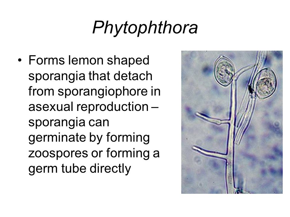 Phytophthora