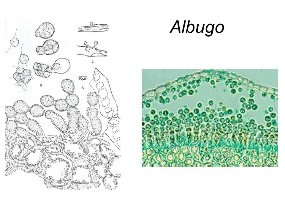Albugo