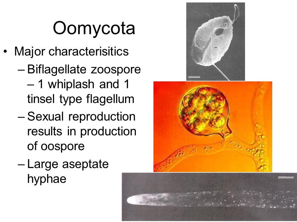 Oomycota Major characterisitics