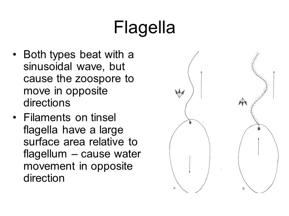 Flagella Both types beat with a sinusoidal wave, but cause the zoospore to move in opposite directions.