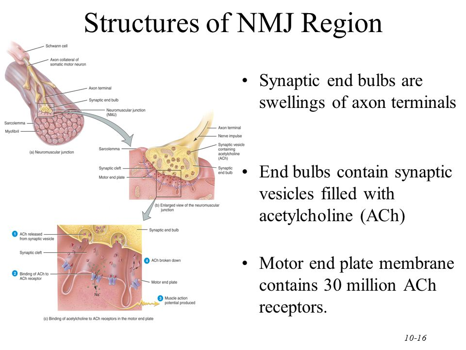 Structures of NMJ Region