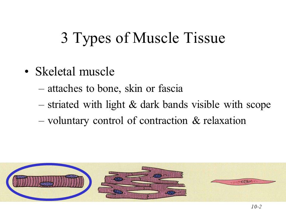 3 Types of Muscle Tissue Skeletal muscle