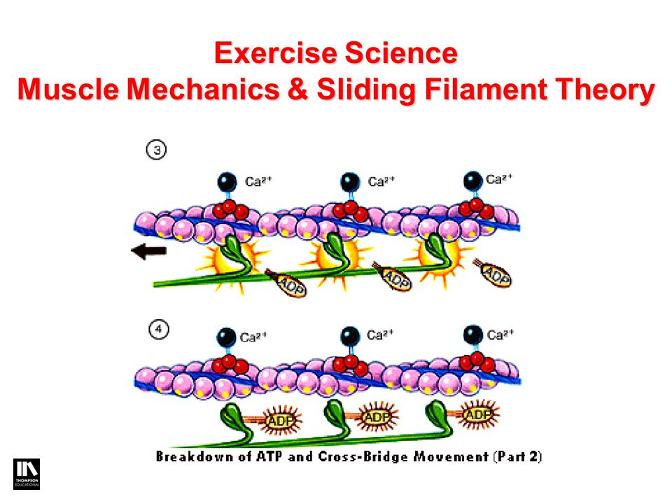 Exercise Science Muscle Mechanics & Sliding Filament Theory