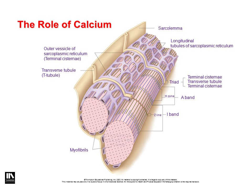 The Role of Calcium Sarcolemma Longitudinal