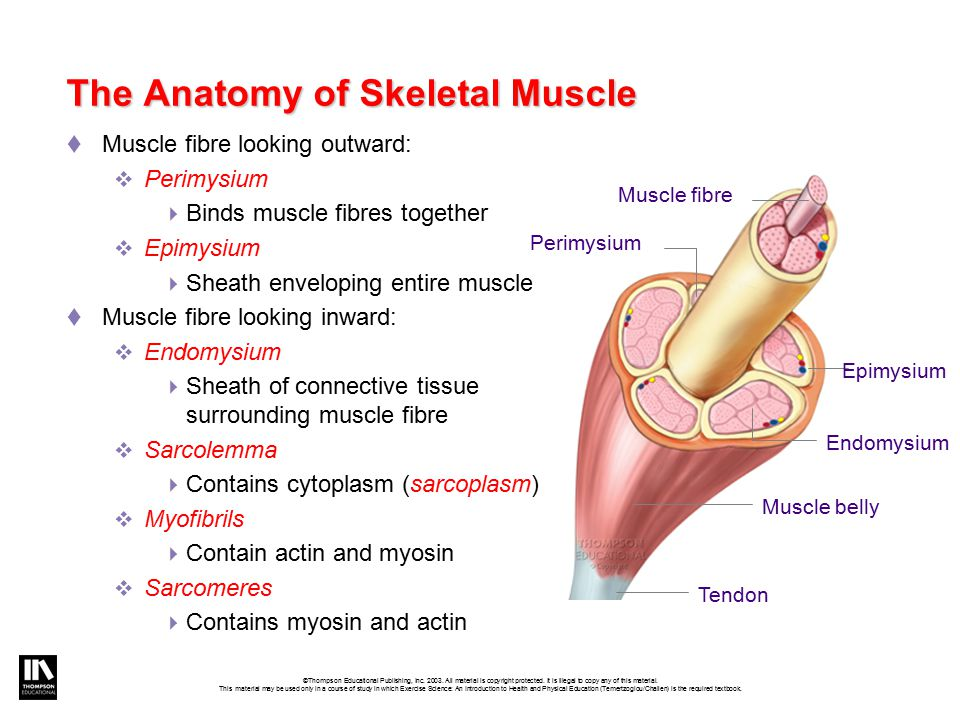 The Anatomy of Skeletal Muscle