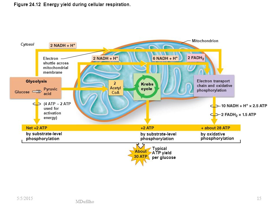 Figure 24.12 Energy yield during cellular respiration.
