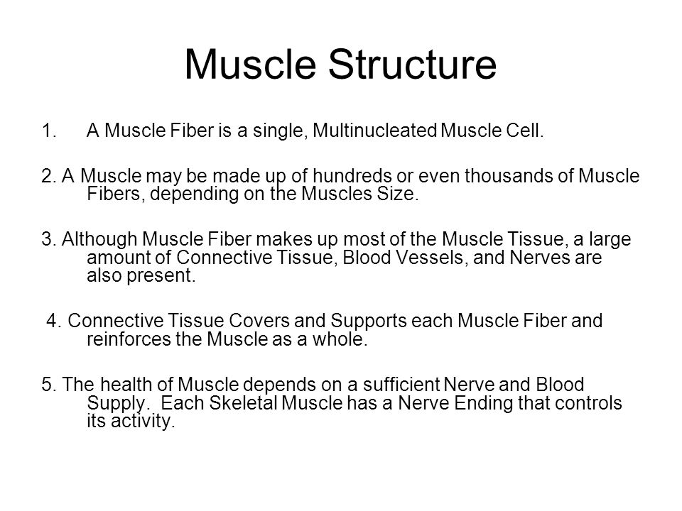 Muscle Structure A Muscle Fiber is a single, Multinucleated Muscle Cell.