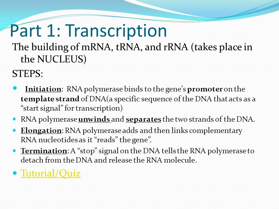 Part 1: Transcription The building of mRNA, tRNA, and rRNA (takes place in the NUCLEUS) STEPS: