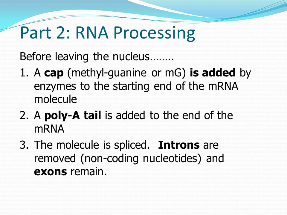 Part 2: RNA Processing Before leaving the nucleus……..