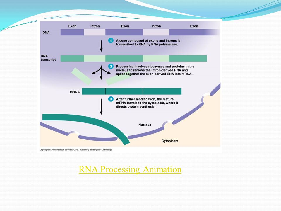 RNA Processing Animation