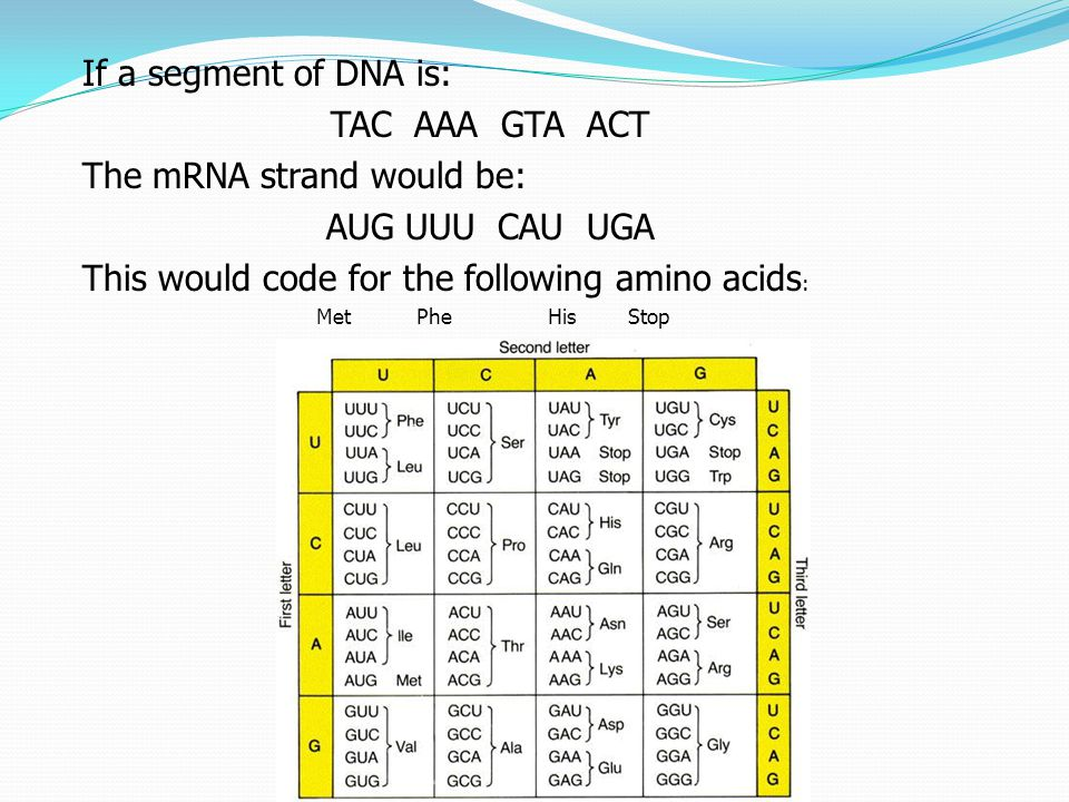 The mRNA strand would be: AUG UUU CAU UGA