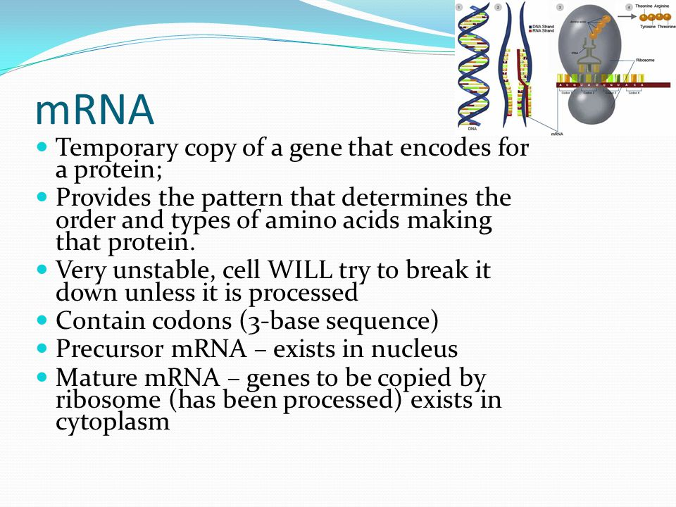 mRNA Temporary copy of a gene that encodes for a protein;