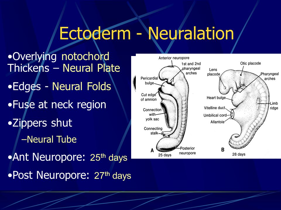 Ectoderm - Neuralation