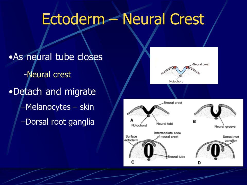 Ectoderm – Neural Crest