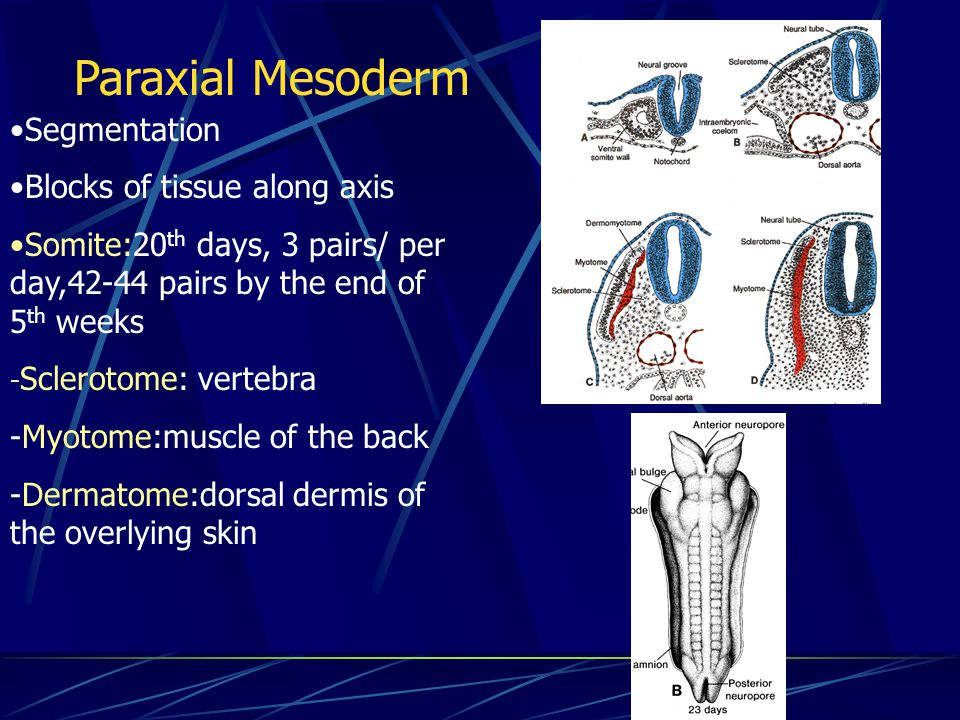 Paraxial Mesoderm Segmentation Blocks of tissue along axis
