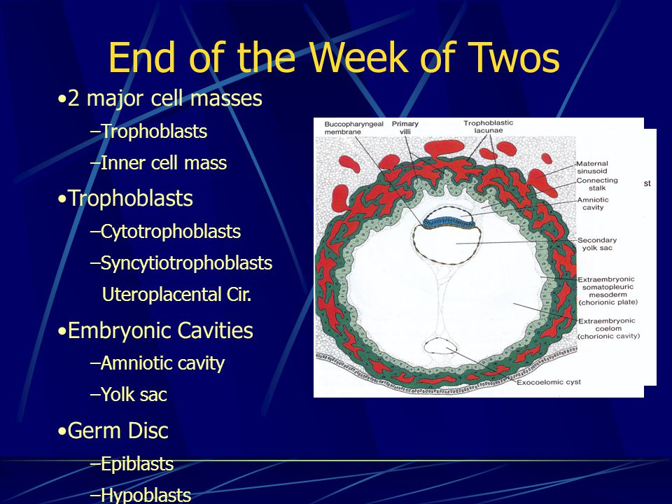 End of the Week of Twos 2 major cell masses Embryonic Cavities