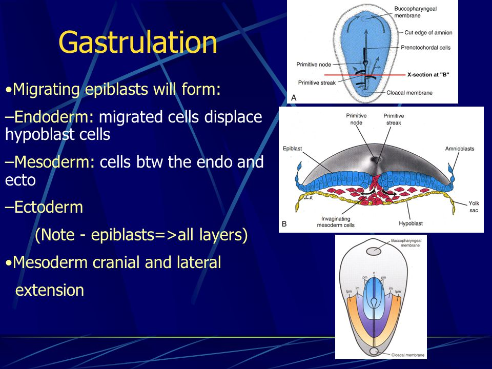 Gastrulation Migrating epiblasts will form: