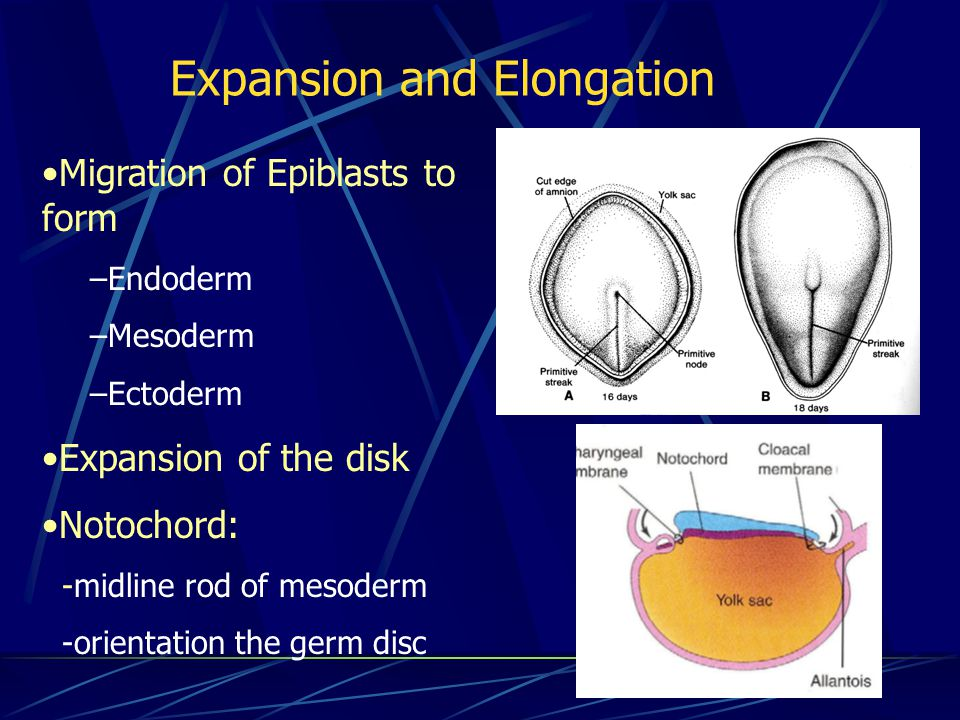 Expansion and Elongation