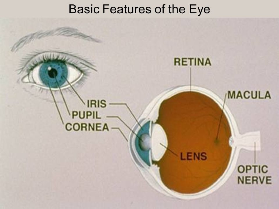 Basic Features of the Eye