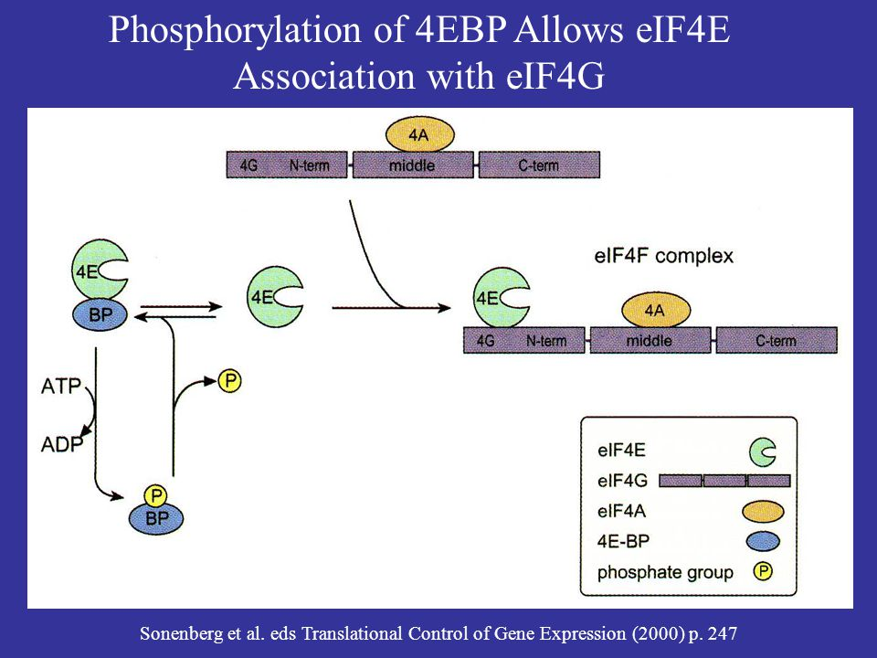 Phosphorylation of 4EBP Allows eIF4E Association with eIF4G